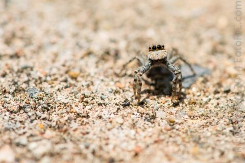 Inquisitive Jumping Spider
