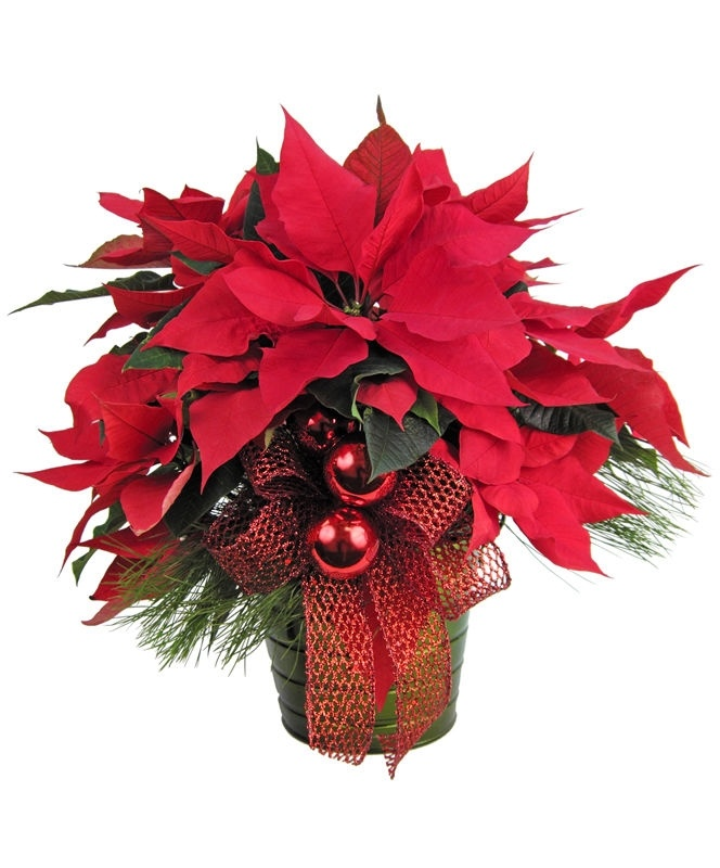 Nothing says Christmas like a traditional Poinsettia. And Poinsettias from Zeidler's are indeed a holiday favorite. This beauty is potted in a decorative green metal container and will look terrific in any setting. This fully decorated red Poinsettia includes fresh Christmas greens, red Christmas balls and shiny red mesh ribbon. Available in two sizes.