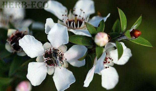Масло чайного дерева оказывает антисептический, заживляющий, антибактериальный и антивирусный эффект. Применяют его для избавления от угревой сыпи, грибковых поражений, стригущего лишая, герпеса, как средство от укусов насекомых. Раны затягиваются без образования шрамов.