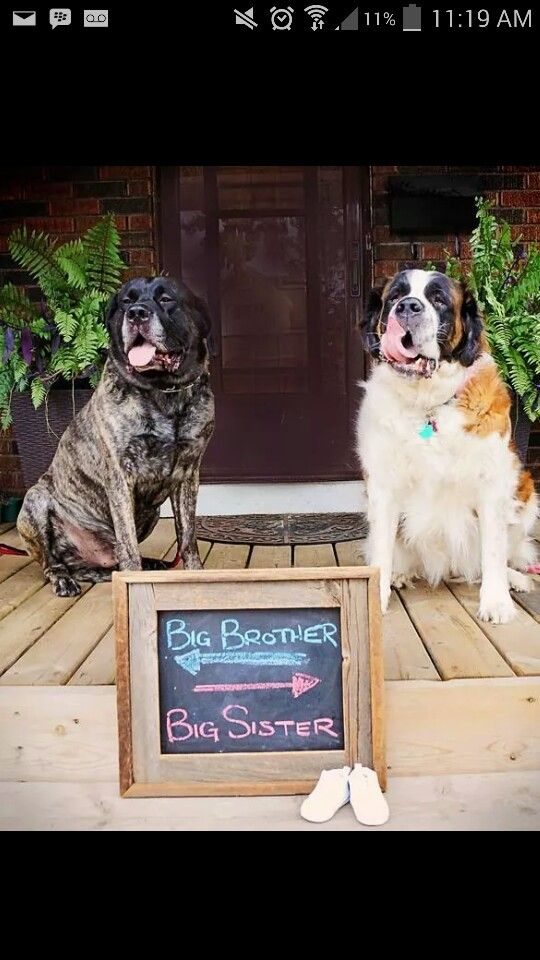 Pregnancy announcement with our dogs!