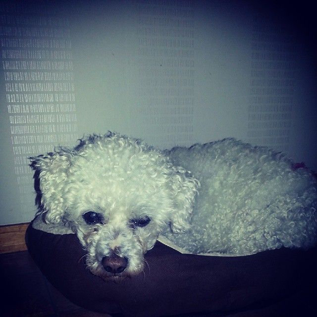 Shoppat en ny bädd idag. Hann inte mer än ställa ner den så låg lilla Oliver i den o snusa... #hund #hundbädd #ÖoB