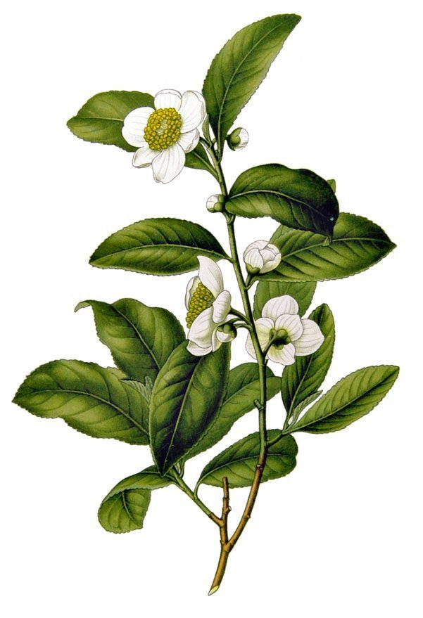 green tea- camilla sinensis. also good for everything