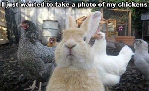 Ha ha ha...all about the bunny :)  I just wanted to take a photo of my chickens.  (via ICHC)
