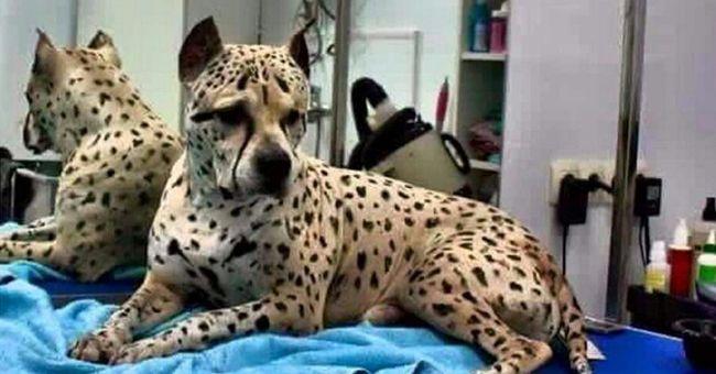 Conoce al primer perro guepardo que no deja de sorprender a todos en Internet