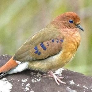 Uma espécie rara de ave que cientistas consideravam extinta foi redescoberta graças a um encontro fortuito entre um ornitólogo brasileiro e o pássaro no in...