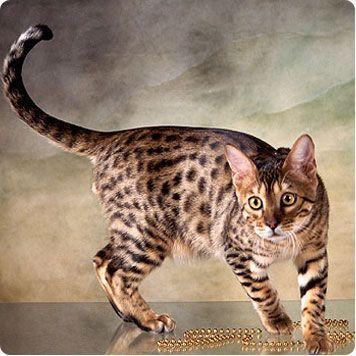 GATO DE BENGALA; Tiene más o menos el tamaño de un gato doméstico, pero posee miembros mas largos. Su coloración es ocre amarillenta, aveces con un tono rojizo, manchada de marron oscuro y negro. Vive en Pakistan y Cachemir hasta las Filipinas y las islas de Sonda.