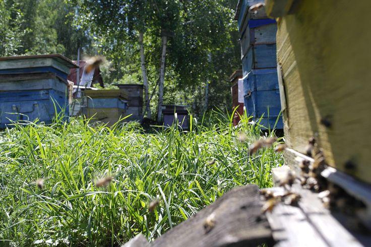 #Зыряновск #мёд #пасека #7medov #7пчеловодство #ВосточныйКазахстан, #пасекаЗиновьевых