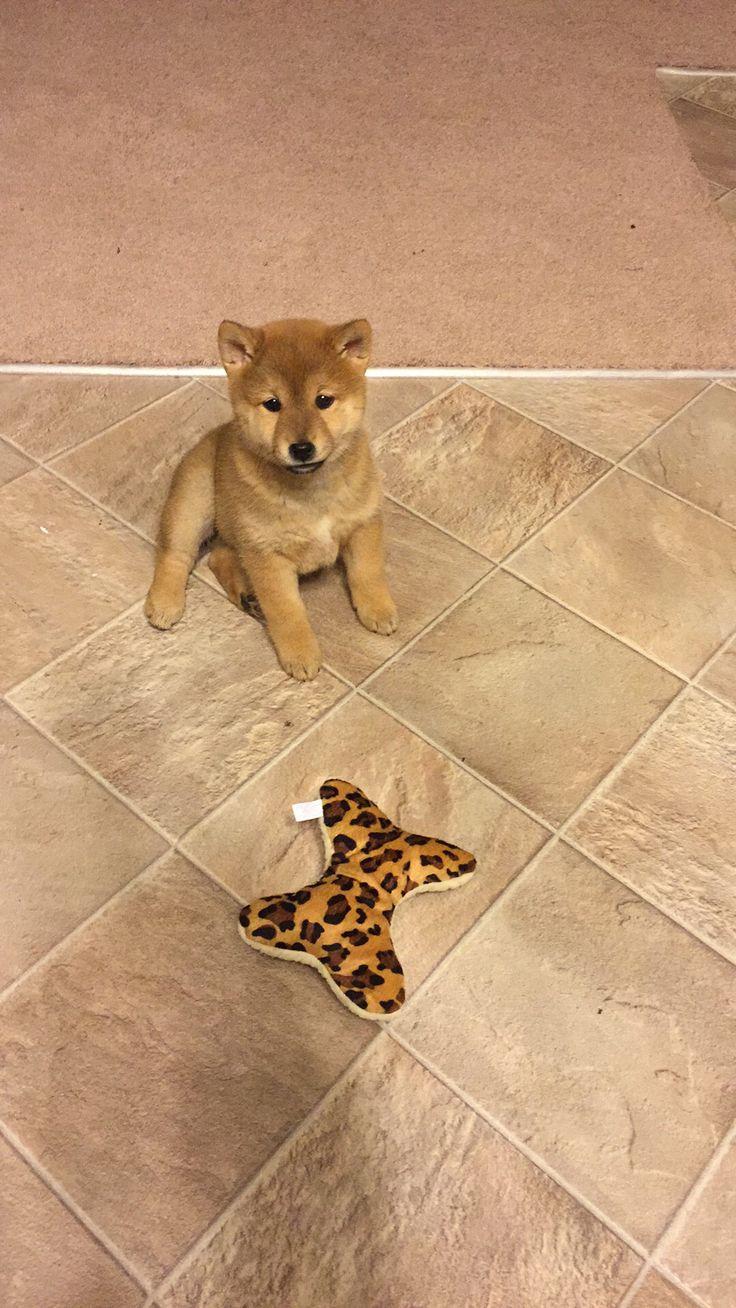 Shibaholic おしゃれまとめの人気アイデア Pinterest Gold Dust Woman 柴犬 子犬 可愛い 動物 柴犬