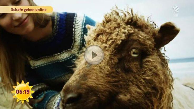 Färöer Inseln: Erobern diese Schafe bald das Internet? #News #Unterhaltung