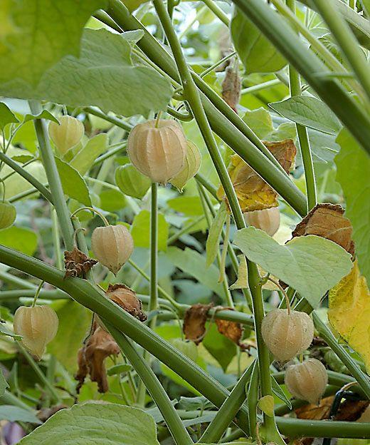 Kapkrusbär vanlig hög ekologiskt frö