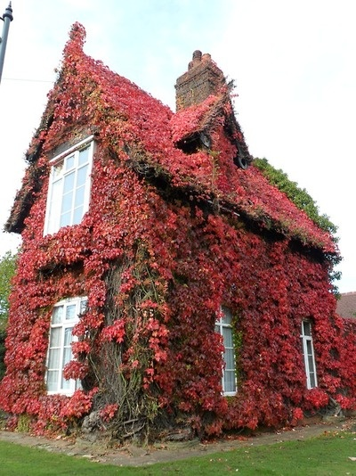 Gatekeepers Cottage, covered in Boston Ivy, red in late Autumn. Dartmouth Park, Sandwell, England.