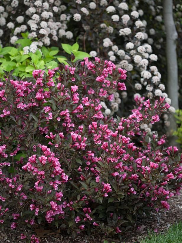 14 flowering shrubs for sun low maintenance shrubs for Low maintenance full sun flowers