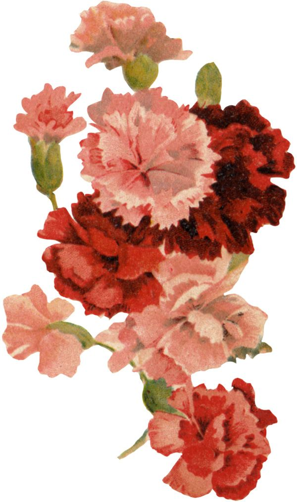 January birth flower (inner arm) Pink and red carnations meaning affection and love