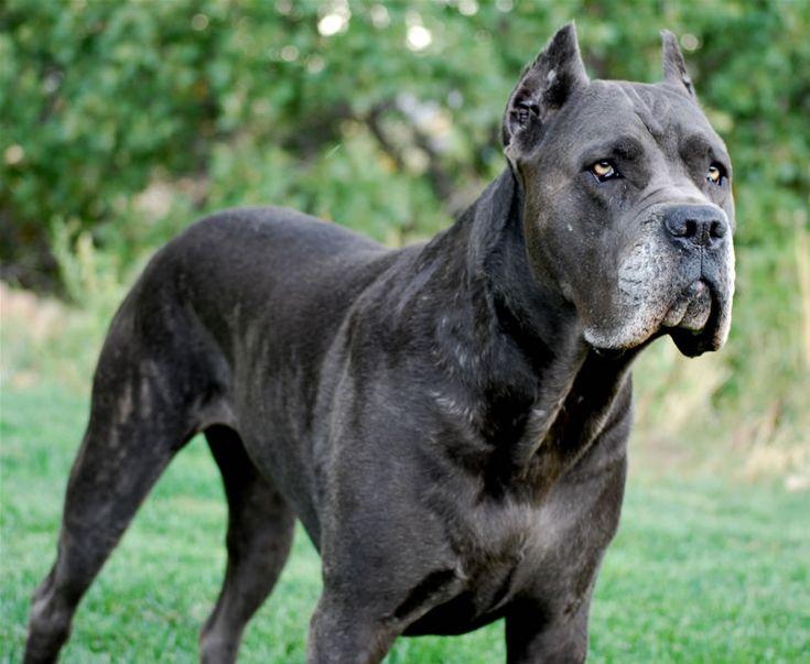 Blue King Corso Dogs | Cane Corso