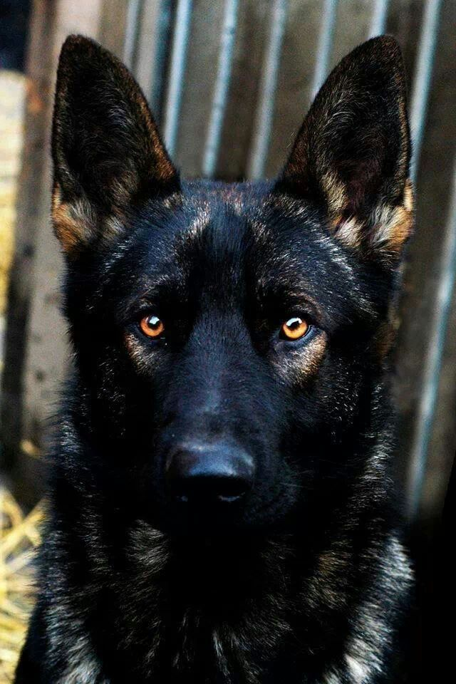 Beautiful sable black German shepherd. Look at those eyes!                                                                                                                                                                                 More