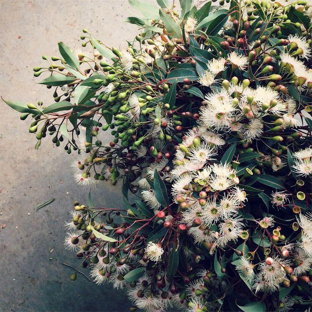 Swallows Nest Farm  Corymbia Ficifolia   Flowering Gum