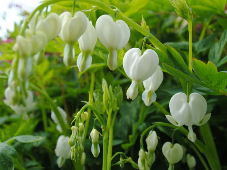 Lamprocapnos spectabilis 'Alba' is a clump-forming, herbaceous perennial up to 2.5 feet (0.7 m) tall... #lamprocapnos #plantopedia #FloweringPlant #flowers #FloweringPlants #plant #plants #flower #blooming #FlowersLover #FlowersLovers #FlowerGarden #WorldOfFlowers #WorldOfFloweringPlants #nature