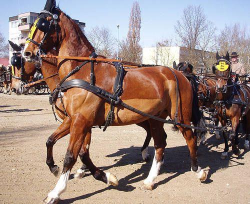 Gelderland Horse - Netherlands: