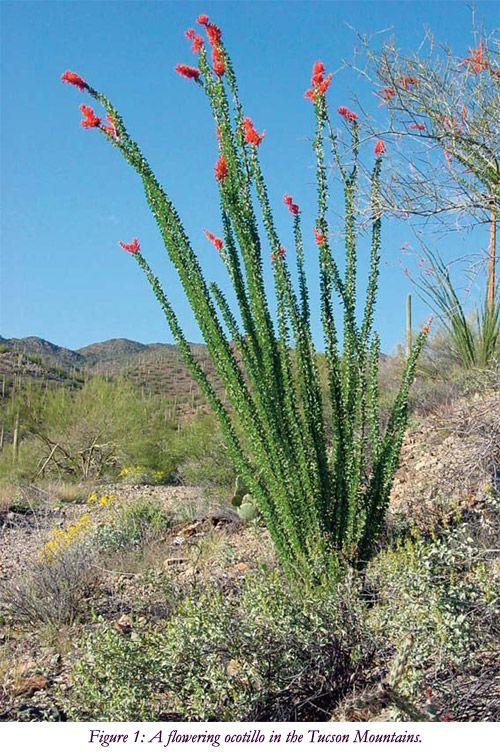 Ocotillo (Fouquieria splendens)The Tucson Cactus and Succulent Society