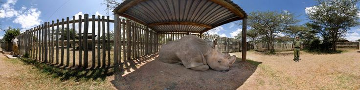 Rhino Sanctuary, Ol Pejeta Conservancy. Sudan, the only remaining male Northern White Rhino in the world. There are two remaining females. Sudan is too old to reproduce. The Northern White once roamed most of North Africa, but because of war and poachers they are at the brink of extinction.