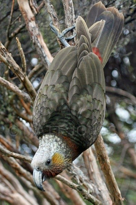 The New Zealand Kaka, also known as Kākā, (Nestor meridionalis) is a New Zealand parrot endemic to the native forests of New Zealand