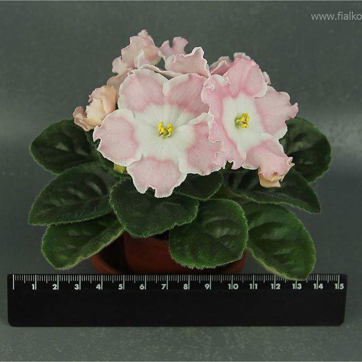 Repost fialkovod  Огромные 7-сантиметровые цветы для такой крошечной розетки. Цветок на половину фиалки! И будет огромная шапка, еще не все бутоны раскрылись.