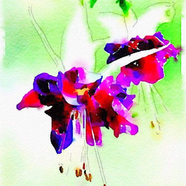 """Painted in #Waterlogue #watercolour #Waterlogueapp #fuschias #flowers #nature #beauty"" Photo taken by @glendapix on Instagram, pinned via the InstaPin iOS App! http://www.instapinapp.com (04/15/2015)"