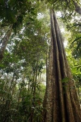 Albero gigante della foresta pluviale in Amazzonia ecuadoriana Archivio Fotografico