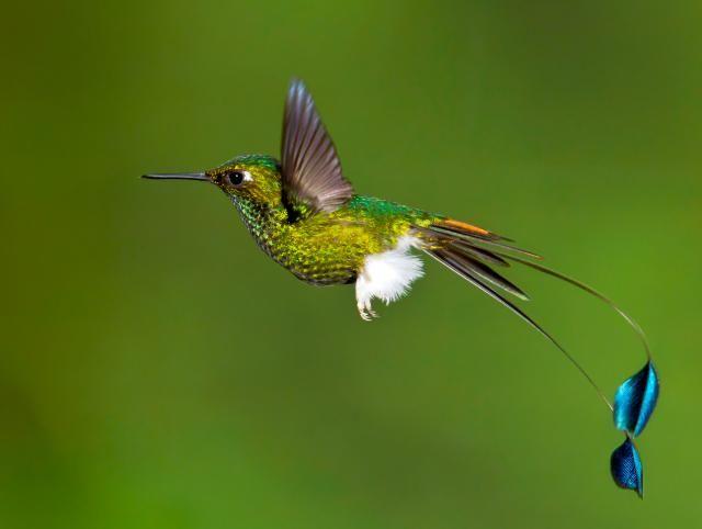 Colibrí de Raquetas (Ocreatus underwoodii) El colibrí de raquetas o colibrí cola de hoja se encuentra en Bolivia, Colombia, Ecuador, Perú y Venezuela. Vive en el bosque húmedo montano de los Andes y en los claros adyacentes, incluyendo áreas agrícolas y jardines, entre los 900 y 2.200 m de altitud.