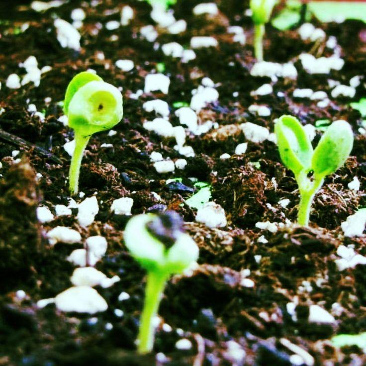 1000 ideias sobre calendrier des semis no pinterest le potager hortas e mon potager. Black Bedroom Furniture Sets. Home Design Ideas