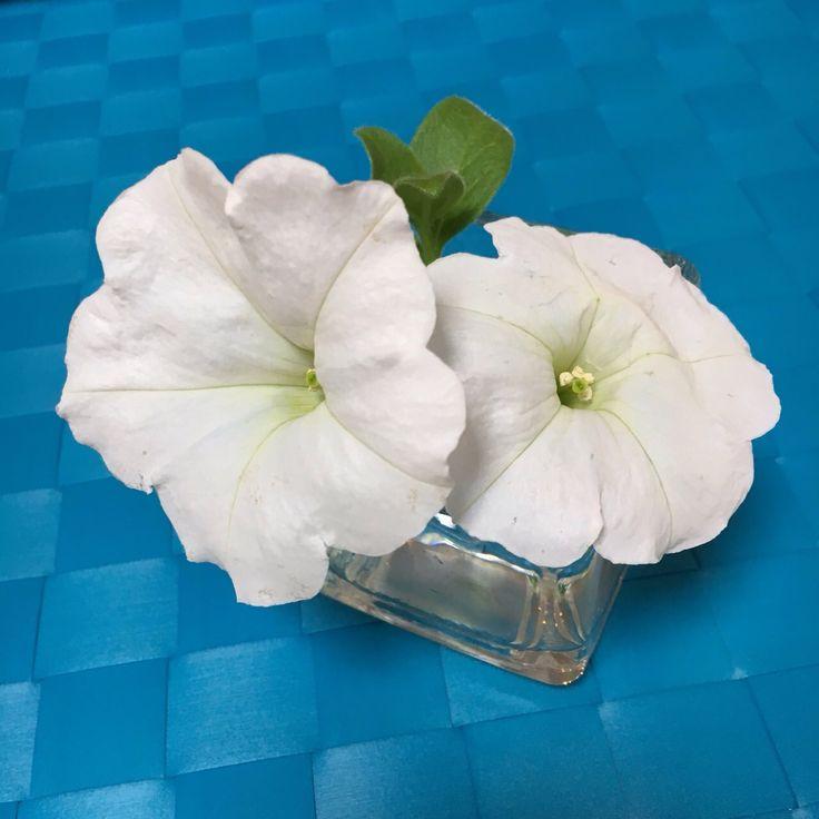 ペチュニア Petunia