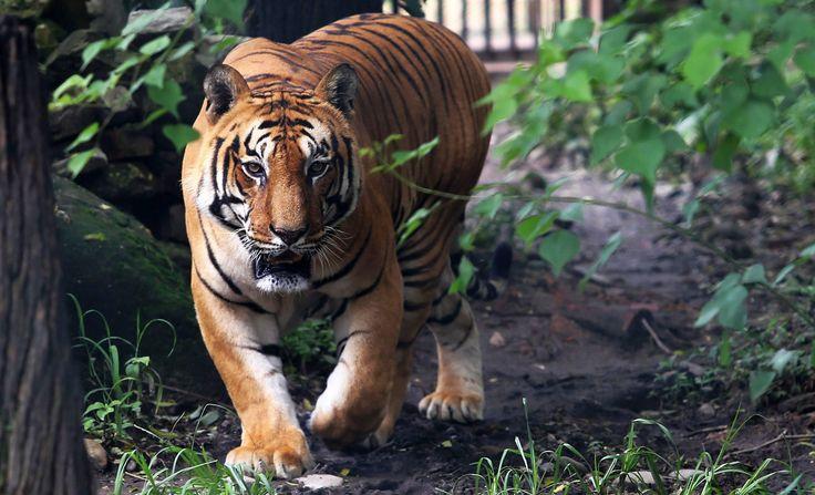 Bild zu Bengalischer Tiger