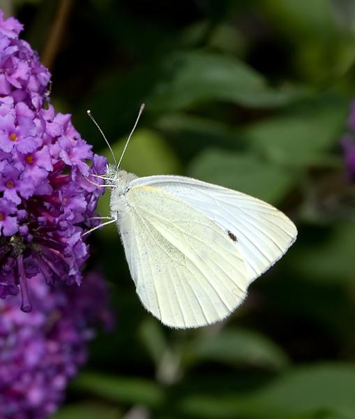 images  vlinders  pinterest beautiful