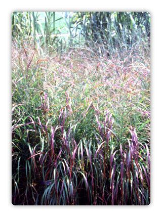 296 best images about ornamental grasses on pinterest for Red and green ornamental grass