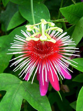 Passion Flower 'Pink Festival' Passoflora