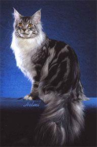 Maine Coon Cat Coat Colors - Siberia Farm