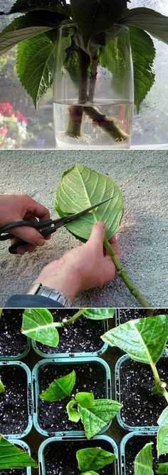 Grow Hydrangea From Cutting. Great tutorial
