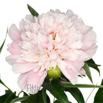 FiftyFlowers.com - Blush Peonies Flowers April Delivery 50 stems for $259.99 ($5.20 per stem) #centerpieceflowers