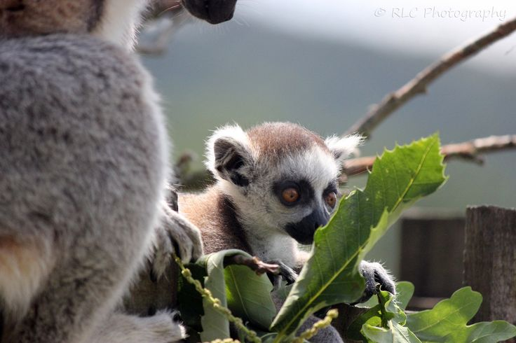 https://flic.kr/p/pSo8Kq | Longleat Zoo | July 2013