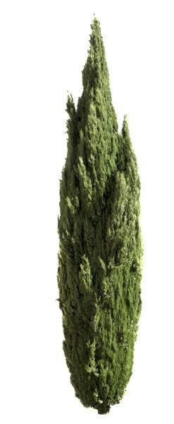 2288 x 5548 Pixels PNG, with transparent background. Cupressus sempervirens Mediterranean cypress, Italian cypress, Tuscan cypress, Persian cypress, pencil pin