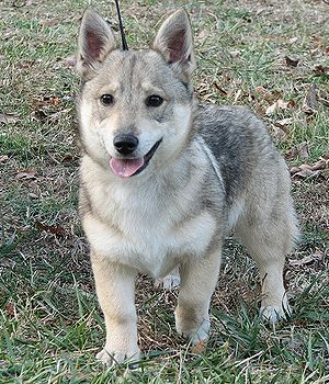 Swedish Vallhund - not any relation to a husky but they kinda have that look