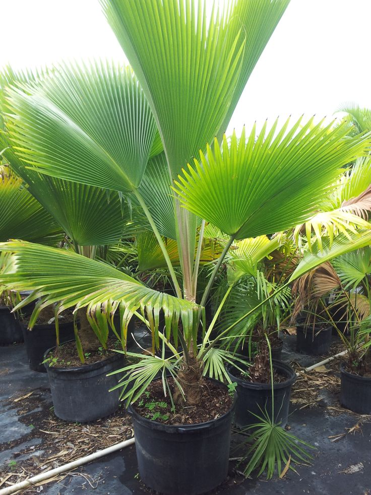 Rare Island Tropical Foliage Homestead - Fiji Fan Palm ...