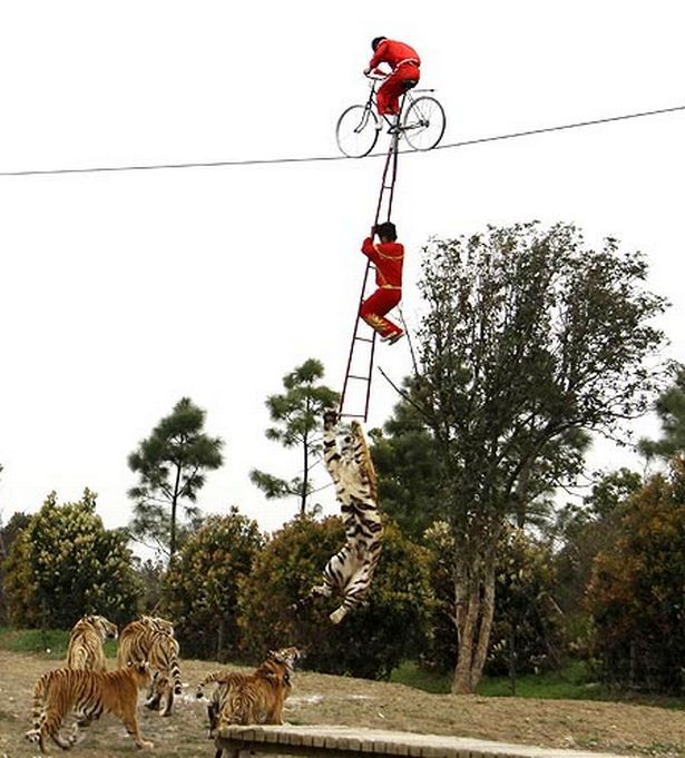 Circus horror as three-year-old is sent 8 metres above tiger pit at Changzhou Yancheng zoo, China - by Matt Blake, UK