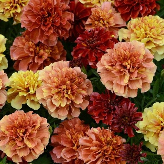 French strawberry marigolds