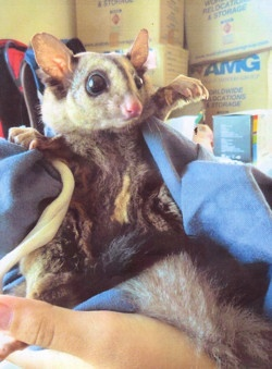 Google Image Result for http://www.wildlife.org.au/projects/gliders/image/mgupdate1c.jpg