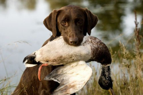 Dogs and Ducks -- Hunting