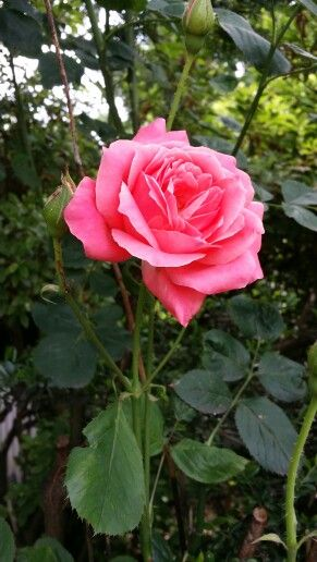 ヽ(^◇^*)/  A lovely rose...