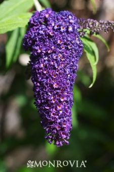 Monrovia's Black Knight Butterfly Bush details and information. Learn more about Monrovia plants and best practices for best possible plant performance.