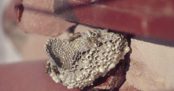 Óleos essenciais para repelir marimbondos. O marimbondo, maior membro da família de vespas, é conhecido por sua ferocidade e dolorosa picada. Se você mora em uma área onde eles gostam de fazer suas enormes caixas, o que normalmente acontece em troncos ocos de árvores grandes, você pode sentir que eles são uma ameaça para a sua segurança e conforto. Faça um repelente natural usando óleos ...