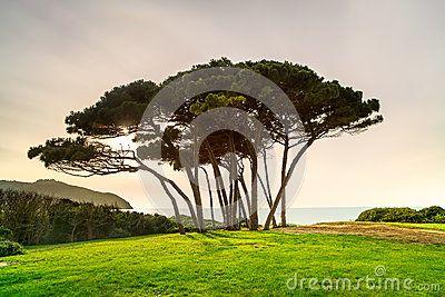 Gruppo marittimo dell albero di pino vicino al mare ed alla spiaggia r
